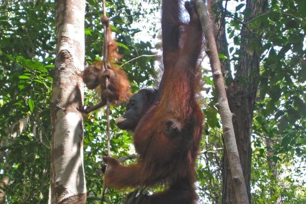 Orang Utans Kumai  Borneo