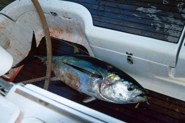 Pazifik zwischen Galapagos und Fatu Hiva: Thunfisch Schweinerei
