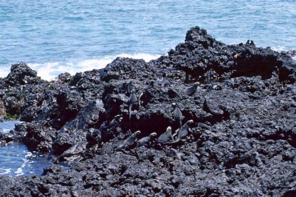 Pazifik Galapagos Isabela Wasserleguane