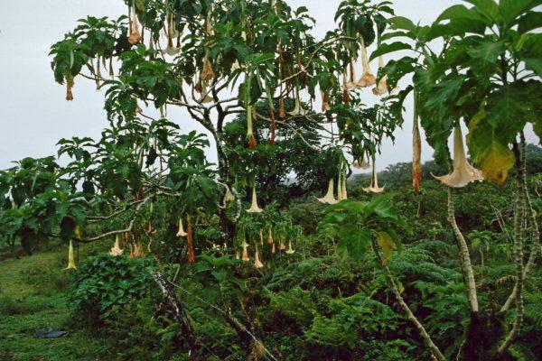 Pazifik Galapagos Isabela Trompetenbaum