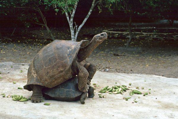 Pazifik Galapagos Isabela Zuchtstation der Riesenschildköten