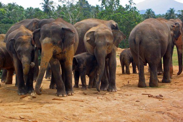 Sri Lanka  Pinewala  6