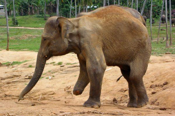 Sri Lanka  Pinewala  7