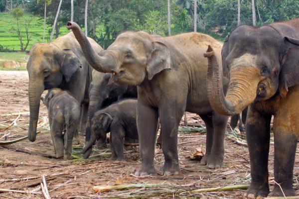 Sri Lanka  Pinewala  9
