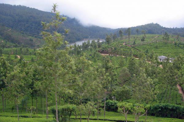 Sri Lanka  Teeplantage  8
